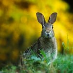 Closeup Hare/Rabbit